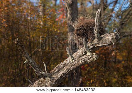 Porcupine (Erethizon dorsatum) Rests with Eyes Partially Closed - captive animal