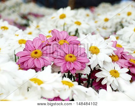 Pink Chrysanthemum flowers among white Chrysanthemum flowers (Leadership, difference or business concept)