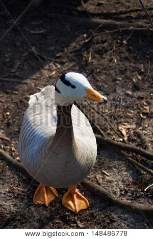 Portrait of the Canadian goose on the ground.