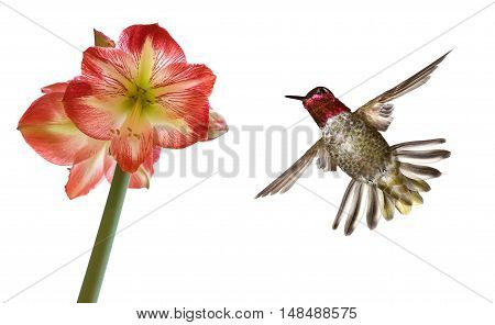 Anna's Hummingbird in flight with tropical flower over white background