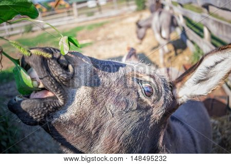 Donkey feeds and walks at animal farm countryside