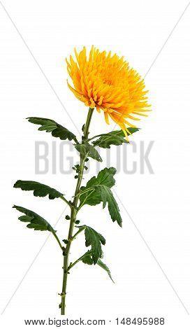 yellow chrysanthemum botanical romance beautiful isolated on white background