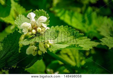 Pure white buds and flowers of a blossoming Dead Nettle or Lamium album plant in its own natural habitat. It is in the beginning of the summer season.