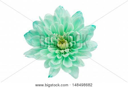 Chrysanthemum Flower Square botanical romance beautiful Backround