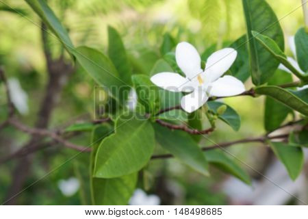 Blur blurred Cosmetic Bark Tree or Inda Orange Jessamine Satin-wood white flower beautiful (Scientific name Wrightia antidy senterica ) for background