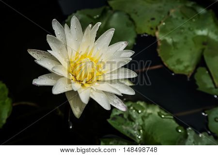 Beautiful white blossom lotus flower with droplets after heavy rain, low key images background