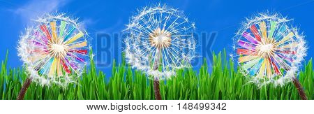 Panorama Dandelions in the grass against a blue sky and 2 colorful windmills.