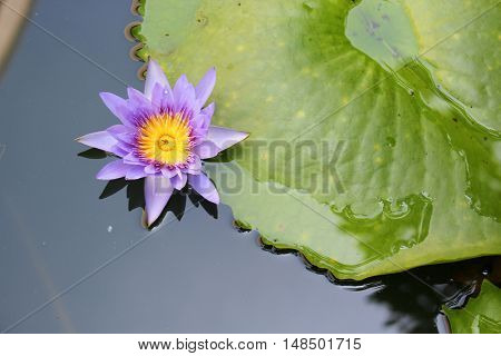 Lotus lilly purple on water beautiful selective focus and soft background Top view And copy space