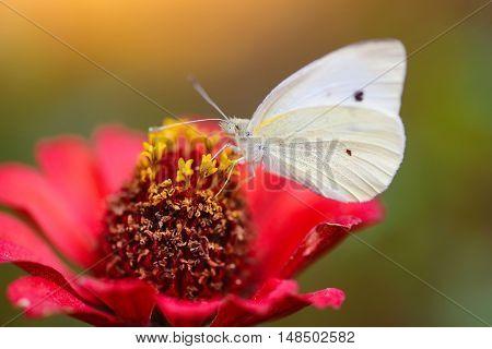 Pieris Brassicae Butterfly On A Red Flower Zinnias