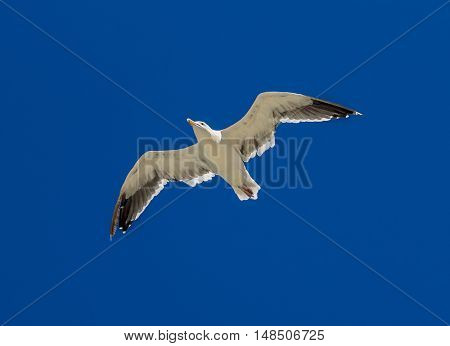 Seagull flying in beautiful blue sky
