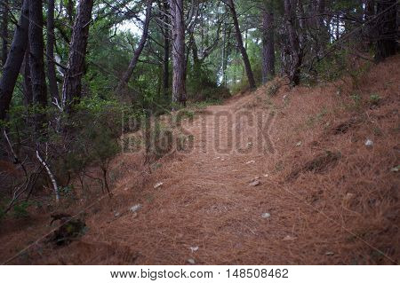 Forest Path Covered With Dried Pine Needles