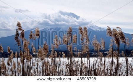 Golden grass against Mount Fuji. Lake Kawaguchi. Yamanashi Prefecture. Fuji Five Lakes. Japan.