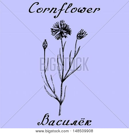 Cornflower hand drawn sketch botanical illustration. Vector illustation. Medical herbs. Lettering in English and Russian languages