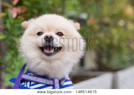 Pomeranian Dog Puppy Cute Cute Pet Happy Friendly