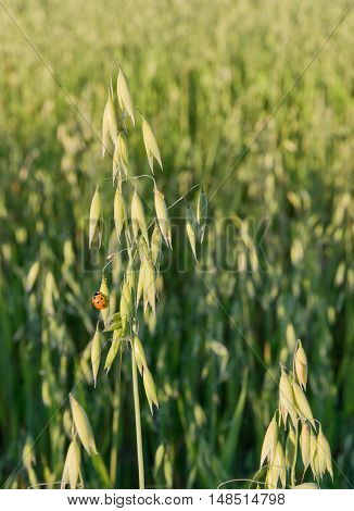 Close up of oat plant and ladybird in the field.