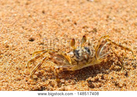 Little crab on the beach with big eyes
