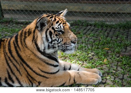 great brooding king tiger rest on the nature