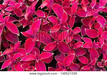 Red leaves with purple veins and yellow frame like background