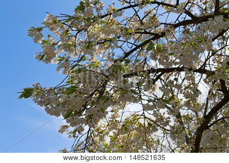 White Cherry blossom close-up. Against a clear blue sky.