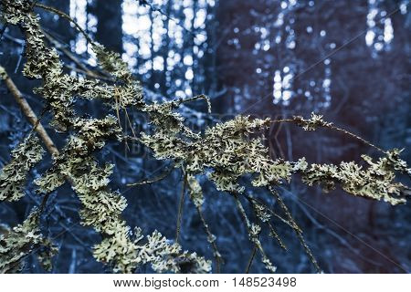 Branch with moss in a mystical forest on background of dark blue forest