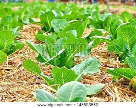 Vegetable garden, garden with young fresh vegetable