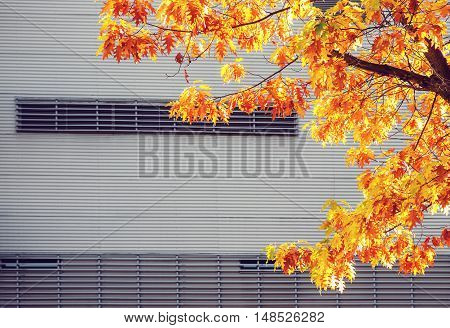 Yellow maple tree against metal urban wall at autumn