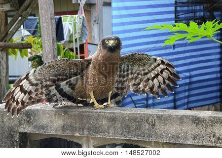 Falcon Peregrine spreading wing while perched look straight at the camera