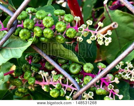 pokeweed flowers and berries with hot pink stem
