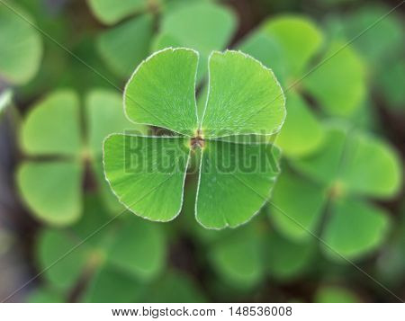 Four Leaf Clover luck plant charm nature