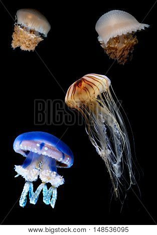 Tropic exotic Jellyfish species over black background