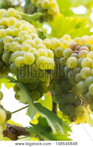 Organic White Grapes in Fall. Ripe Grapes Hang From a Vine. Vineyards at Sunset in Autumn Harvest.