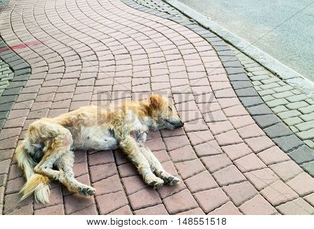 Abandoned dirty homeless stray dog sleeping on the street