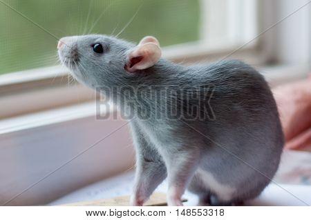 beautiful blue rat sitting near the window in the room