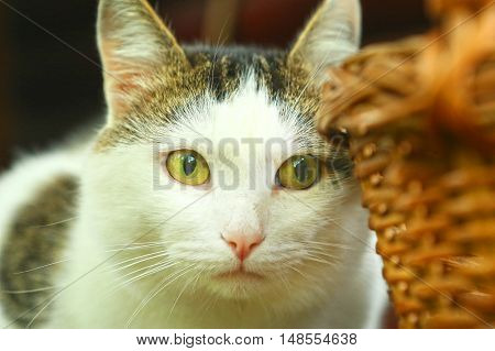 close up photo of tom siberian cat and basket
