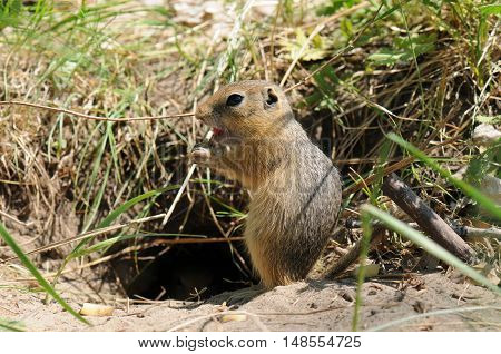 Gopher (ground Squirrel)