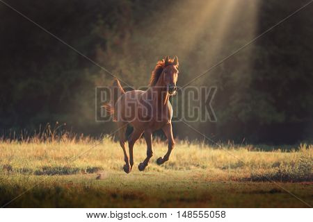 red horse runs on the green grass on the dark forest background
