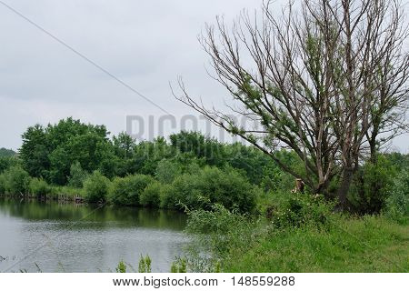 Drying up tree near the water among lush greenery