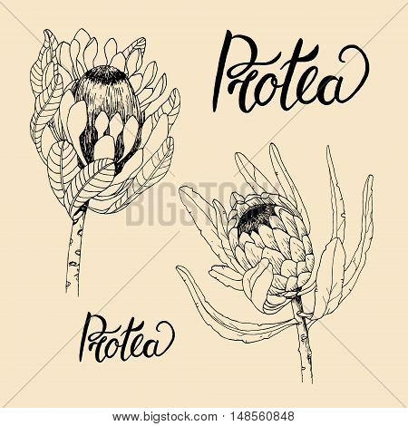 Vintage floral set with protea. Hand drawing illustration in the style of engravings.