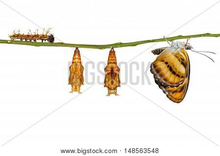 Isolated Life Cycle Of Colour Segeant Butterfly Hanging On Twig