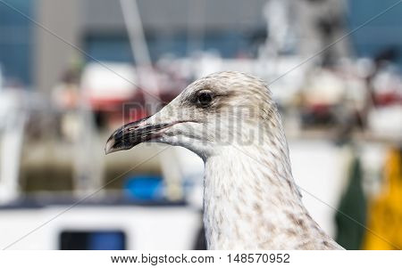The head and neck of a young gull shot from a side (France west coast)