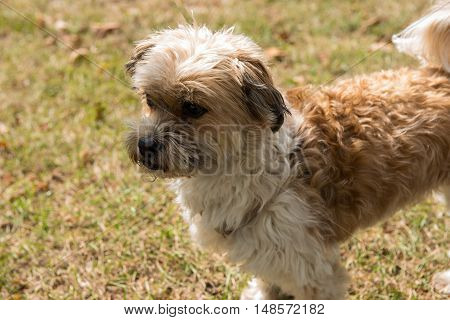 small dog standing on grass and looking concentrated