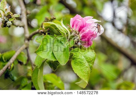 Closeup of the buds and blossoms of an old and wild apple tree in a nature reserve in the beginning of the summer season. At one of the flowers a flying insect with hairy legs is visible.