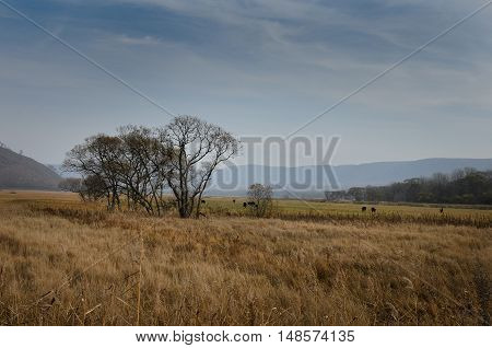 Landscape pastoral rustic and cows grazing in a field