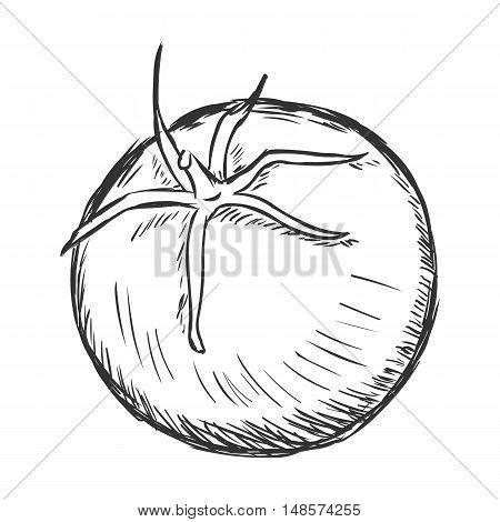 Vector Single Sketch Tomato