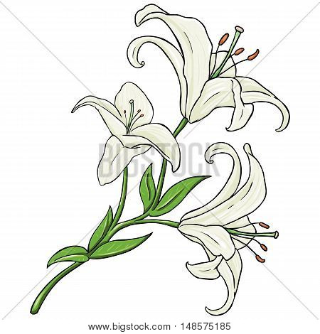 Vector Cartoon Isolated Illustration - White Lily