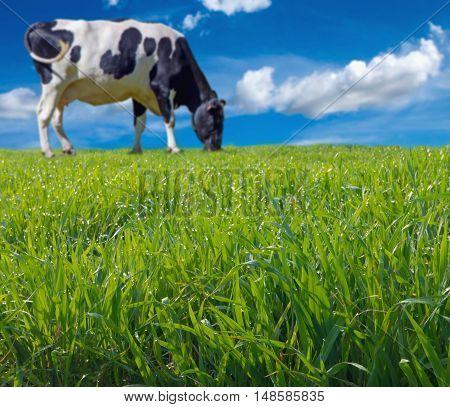 Blurred Cow Grazing Fresh Grass