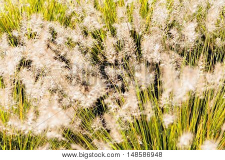 Blossomed Tall Grass