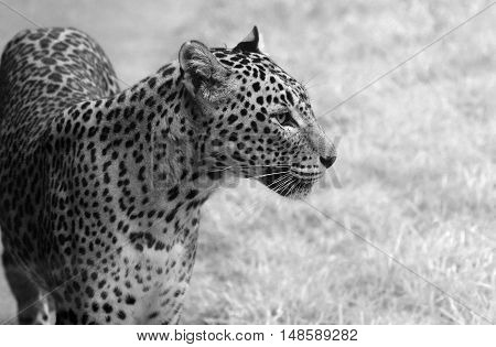 A Leopard in black and white gazing out.