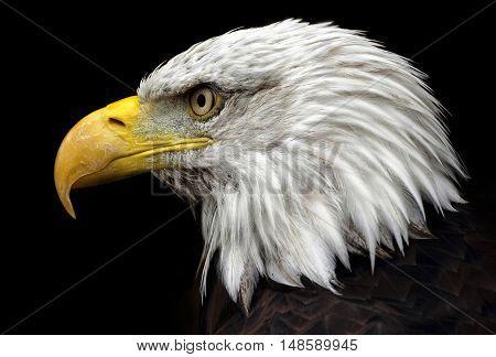 American Bald Eagle, the symbol of America.