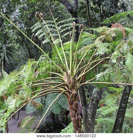 Frond of an Australian tree fern Cyathea cooperi